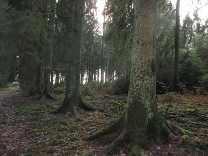 Pieds d'épicéas en forêt